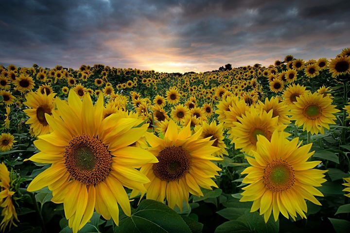 Keith Trueman - Sunflowers