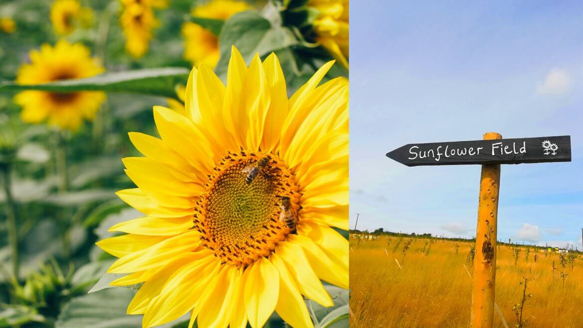 Sunflower festival from 24th August