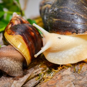 giant afican snails